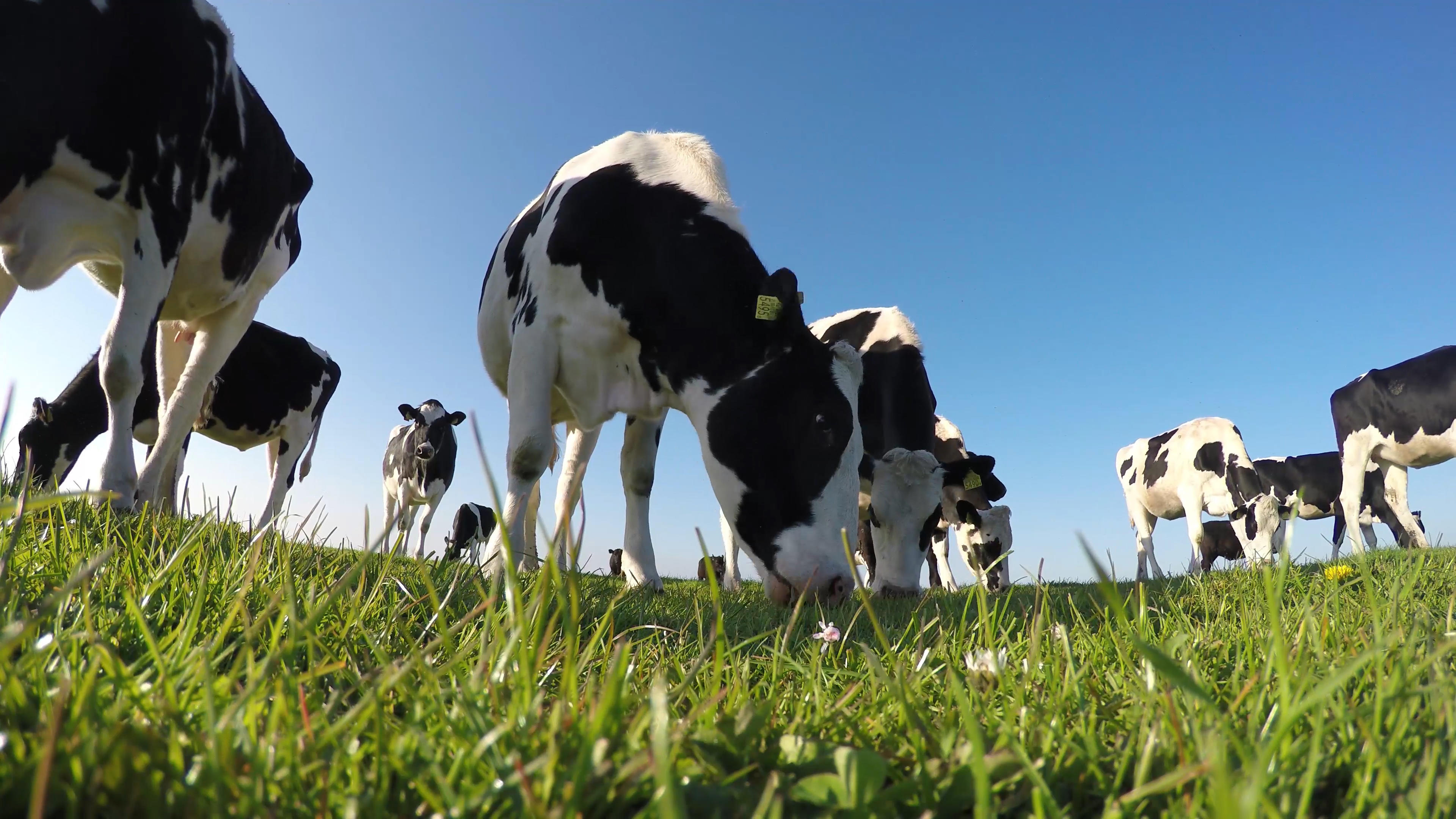 cows grassing